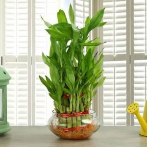 7 BEST UNDER THE ROOF INDOOR PLANTS THAT SURVIVE IN LIMITED LIGHT Lucky Bamboo.8