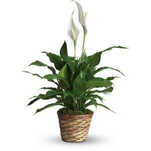 7 BEST UNDER THE ROOF INDOOR PLANTS THAT SURVIVE IN LIMITED LIGHT Peace  Lily.3