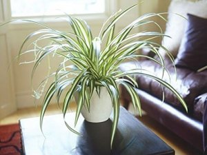 7 BEST UNDER THE ROOF INDOOR PLANTS THAT SURVIVE IN LIMITED LIGHT Spider Plant.5