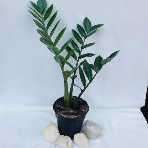 7 BEST UNDER THE ROOF INDOOR PLANTS THAT SURVIVE IN LIMITED LIGHT ZZ PLANT.6