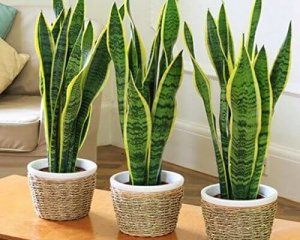 7 BEST UNDER THE ROOF INDOOR PLANTS THAT SURVIVE IN LIMITED LIGHT snake plant.4