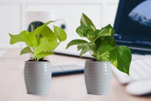 7 BEST UNDER THE ROOF INDOOR PLANTS THAT SURVIVE IN LIMITED LIGHT Pothos.2